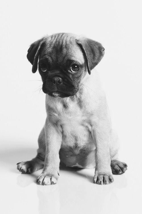 Puppy Love :: The most funny + cutest :: Free your Wild :: See more adorable Puppies + Dogs @untamedorganica :: pug love