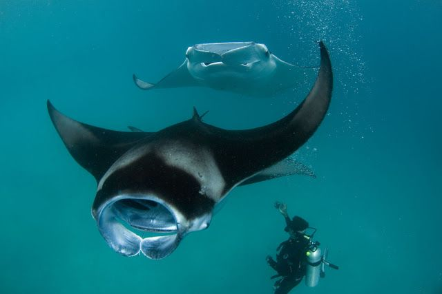 LA VOZ DEL ANIMAL INVISIBLE: rayas y mantas raya o mantarrayas