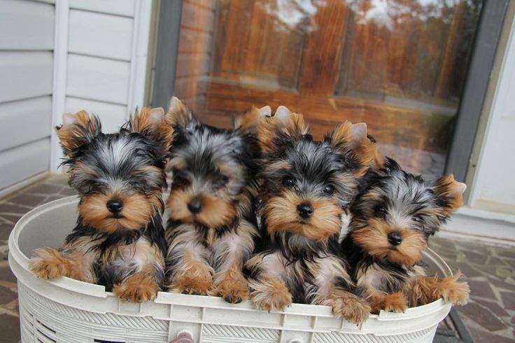 Which Yorkie would you prefer?
