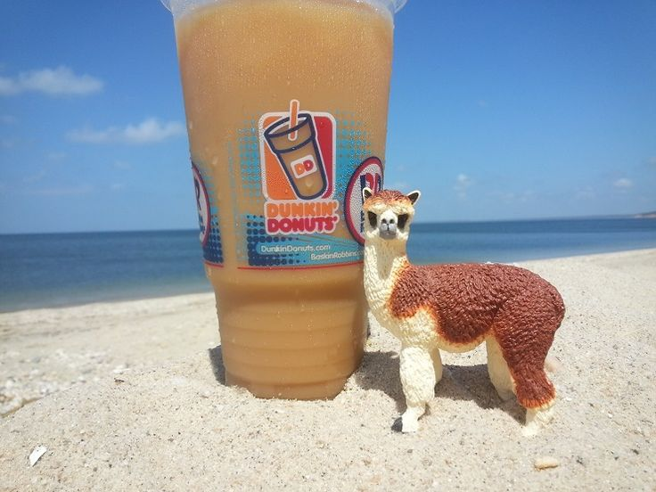 Ruffo the Alpaca at Sunken Meadow Beach chilling out with a Dunkin Donuts Iced Coffee