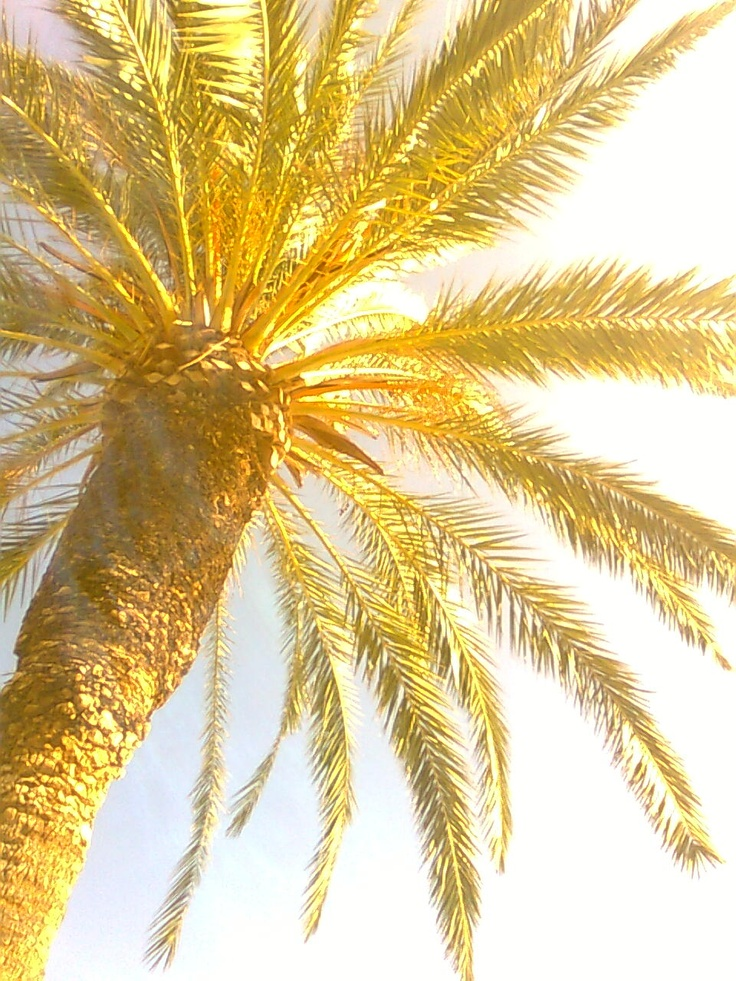 Palm in Split - Croatia