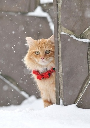 ╰☆╮: Funny Kitty, Winter, Christmas Belle, Beautiful, Snow, Christmas Kitty, Christmas Cat, Happy Holidays, White Cat