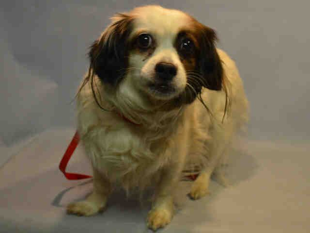 SUPER URGENT -VERY SCARED! ** CANDY – A1097774  FEMALE, WHITE / BROWN, PEKINGESE / CAVALIER SPAN, 8 yrs OWNER SUR – Reason NEW BABY