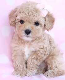 Toy Poodle puppy #NoelitoFlow . Repin & Like and follow here http://www.twitter.com/noelitoflow http://www.facebook.com/thisisflow http://www.instagram.com/rockstarking More