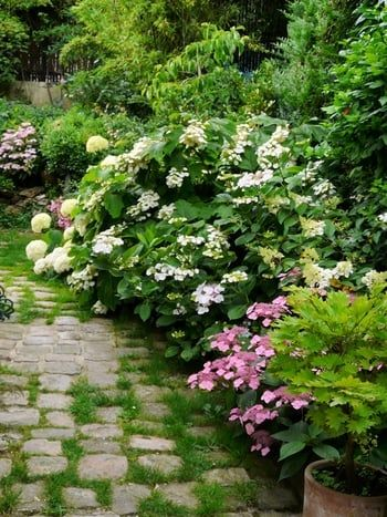 Hydrangeas suit a wilder setting as well as a formal one.