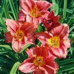 Garten-Taglilie 'Rosy Returns'