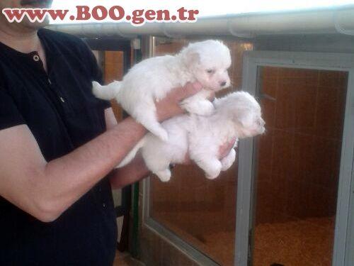 Maltese Terrier Süs Köpekleri - Boo Dünyası