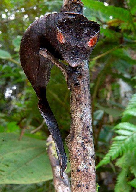 Satanic Leaf-tailed Gecko (Uroplatus phantasticus) - holy gecko!  Love the look!Animal Pics, Animal Pictures, Leaf Tail Geckos, Uroplatus Phantasticus, Leaftail Geckos, Satan Leaf Tail, Satan Leaftail, Leaves, Lizards