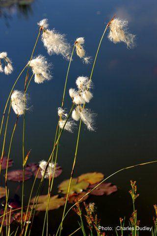 Bog cotton beside pond