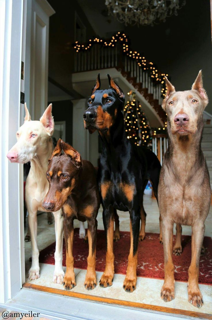 Some lucky person is so very loved by these gorgeous colorful Dobermans