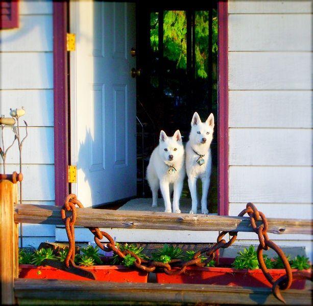 Аляскинский кли-кай (фото): мини-хаски с характером шпица