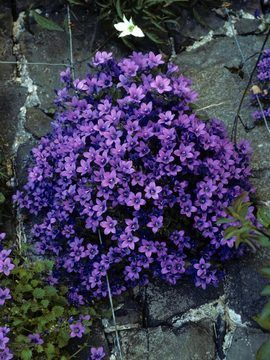 "A must try: Campanula Portenschlagiana  Any amt of sun; normal or clay soil; ""many colors"""
