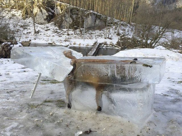 Frozen fox, drowned in the Danube, Southern Germany 2017.