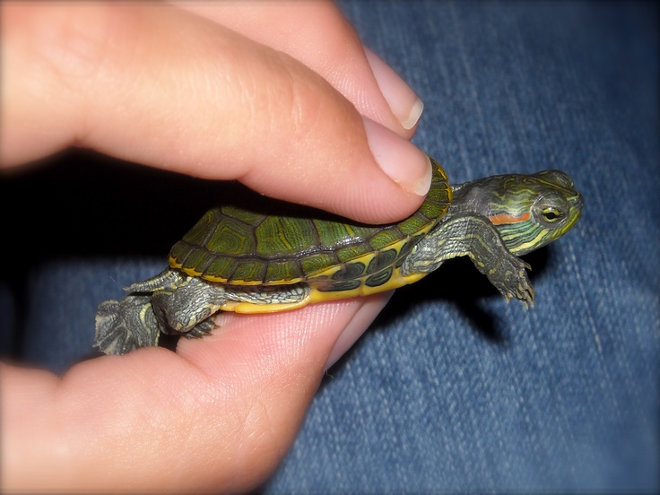 how to take care of a baby red eared slider