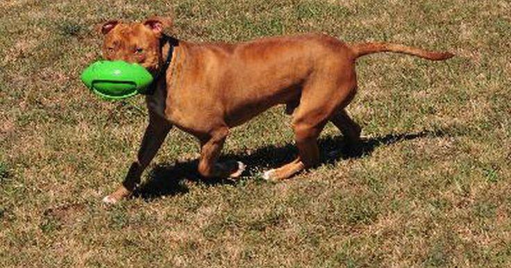"""¿Qué tanto crece un pitbull?. Los pit bulls son un tipo de perro, más que una raza, que no hay que confundir con el pit bull terrier norteamericano (PBTN), el cual es una raza. La frase """"pit bull"""" hace referencia a cualquier perro que se asemeje a uno, ya sea uno de raza pura PBTN o de raza mixta. Sin embargo, incluso los pit bull mixtos son a menudo del mismo tamaño que uno ..."""