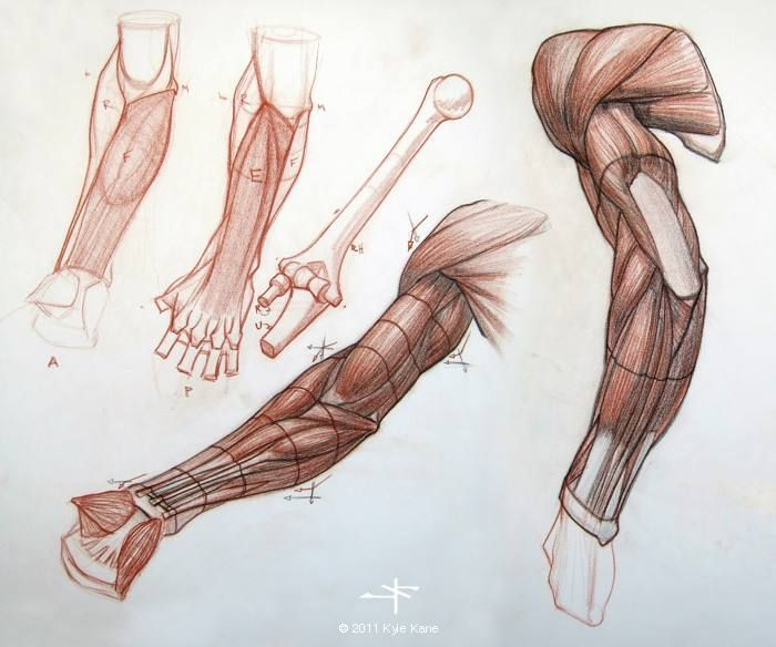 28+ [human arm anatomy www pixshark images galleries]
