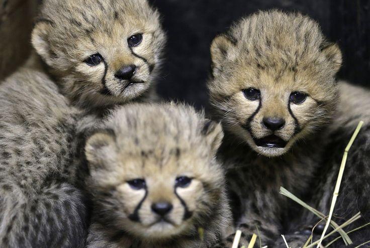 Tre dei quattro cuccioli di ghepardo appena nati allo zoo di Praga, Repubblica Ceca (AP Photo/Petr David Josek, File)