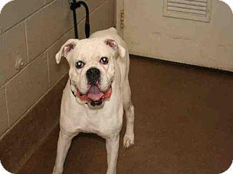Aurora, IL - Boxer. Meet MADDEN, a dog for adoption. http://www.adoptapet.com/pet/16671207-aurora-illinois-boxer