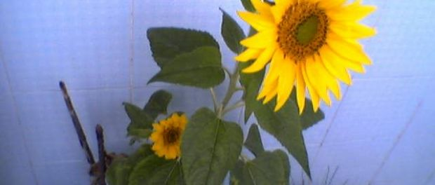 Girasol A maior flor do mundo