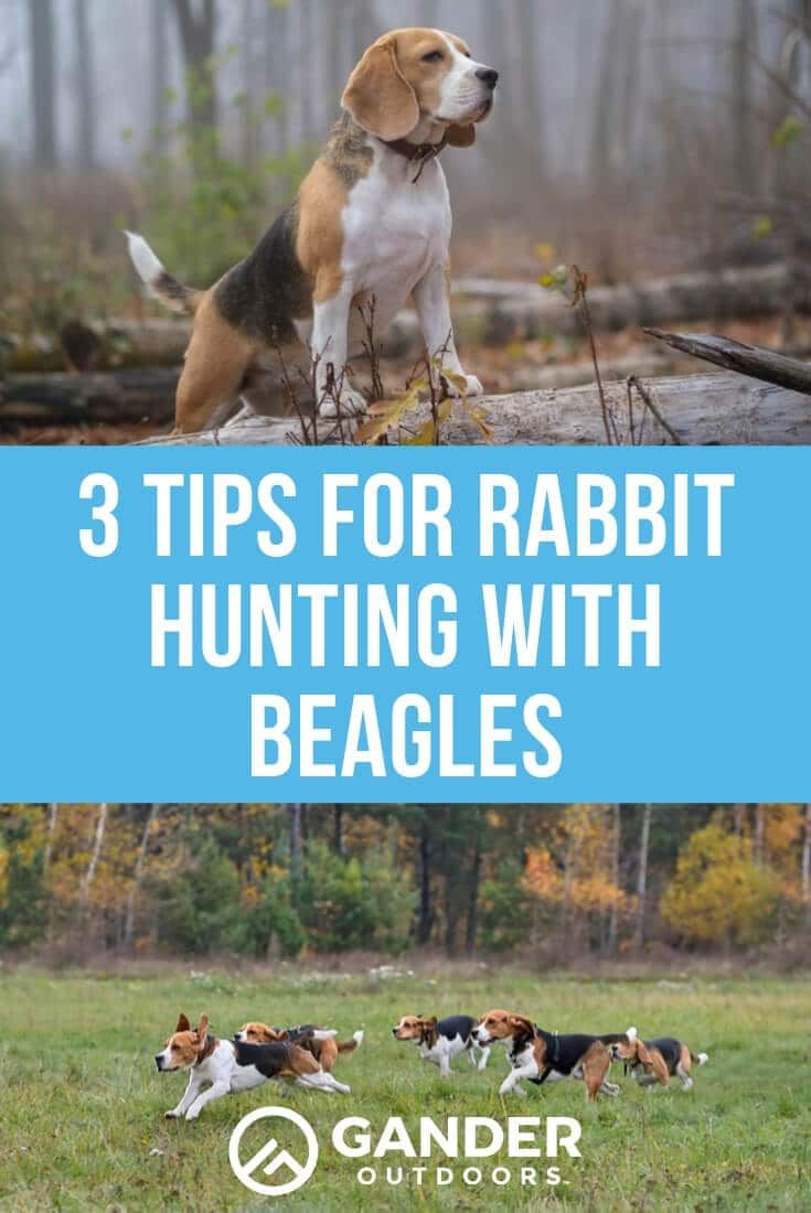 3 Tips For Rabbit Hunting With Beagles Rabbit Hunting Beagle