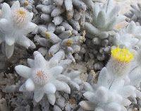 Esperance Wildflowers: Asteraceae - Asteridea