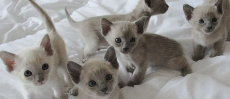 Tonkinese Kittens | Tonkinese Kittens for sale from our adorable ...