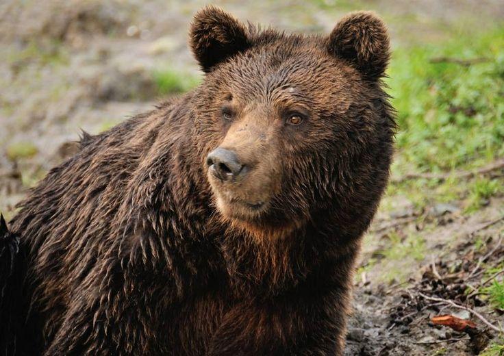 Nieuwe bruine beren