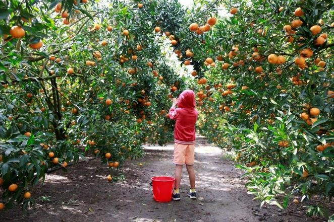 PICK YOUR OWN MANDARINS AT WISEMANS FERRY (FORDS FARM) UNTIL JULY 30.