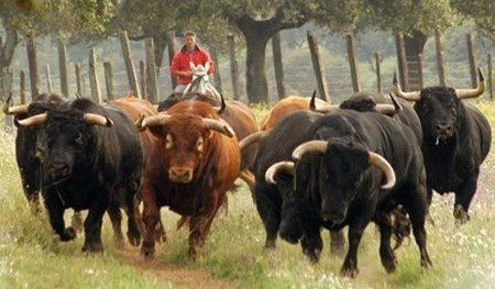 #toros #bull #horses #caballos #Spain