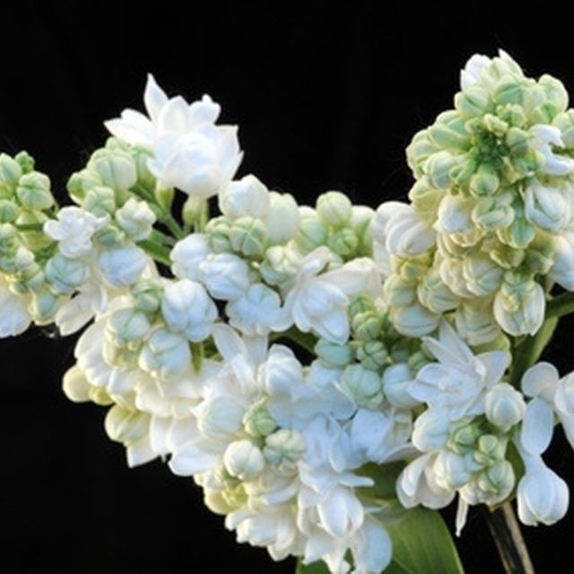 The flowers of the Japanese lilac tree should be pruned immediately after they are spent.