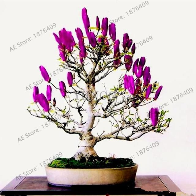Magnolia Seeds Rare Potted Flower Tree Seeds Home And Garden