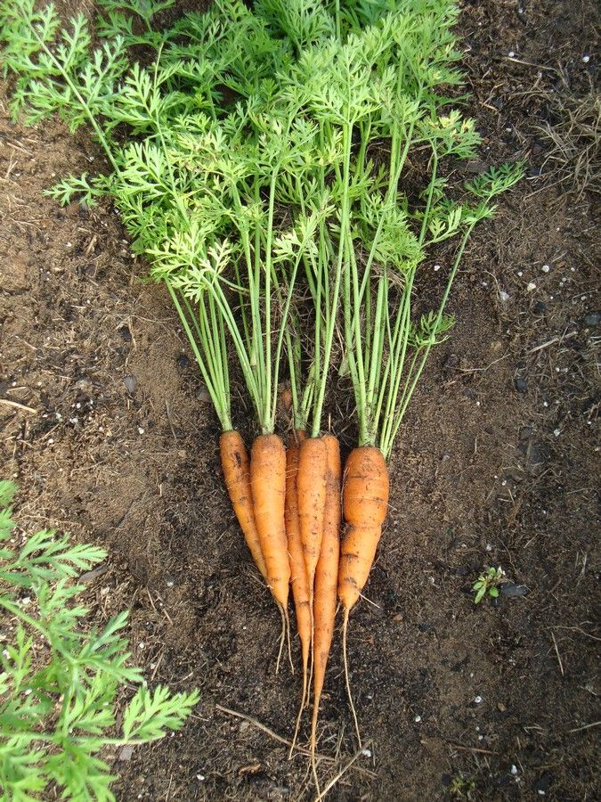 Growing carrots, how to seed and get them to germinate and grow! Picture tutorial on seeding and caring for carrots.