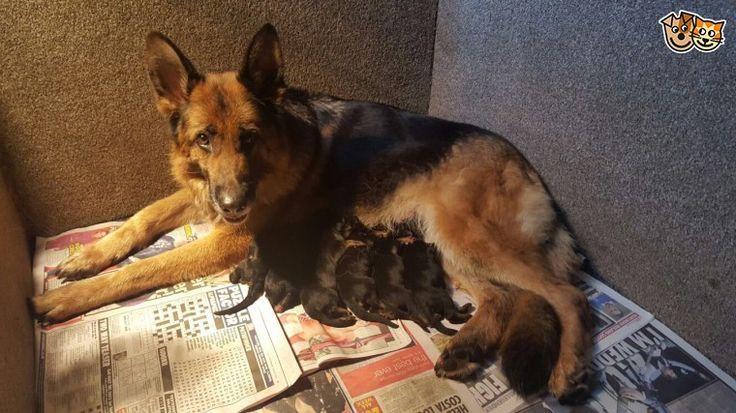 Satılık Alman Kurdu yavrusu safkan alman kurdu yavrusu fiyatları alman çoban köpeği düşük bel köpek satılık...  >ilanlarımızdaki resimlerimiz yavrularımıza aittir kesinlikle temsili resim kullanılmamaktadır...  > Zamanı gelmiş bütün aşı ve parazit uygulamaları veteriner hekimlerimiz tarafından yapılmıştır (iç ve dış parazit puppies dp ve puppies korona )  >Yavrularımızın hepsi %100 safkan olup ırk garantilidir..  >Gelip yavruları anne altından seçebilirsiniz.  http://www.kopekk.com