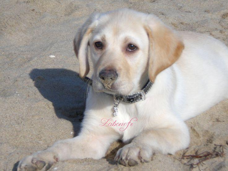 #лабрадор #собака #dog #labrador #лучшийдруг #животные #лабрадор_ретривер #labrador_retriver