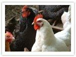 BackYard Chickens website: raising-chickens-maintaining: Raising Chickens, Animals, Backyardchickens Learning, Chicken Coops, Chickens Website, Www Backyardchickens Com, Chickens Backyard Chickens, Backyards