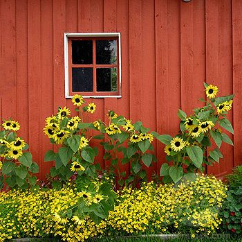 Sunflowers.  Love the SF with the other yellow plant, and the rust colored barn board is the icing on the cake.