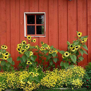 Red Barn with summer flowers sunflowers in Pioneer Park Fairbanks Alaska Alaska Highway ALCAN Al-Can U S United States