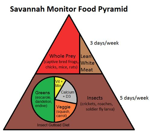 Learn about Savannah Monitor nutrition with this savannah monitor food pyramid.