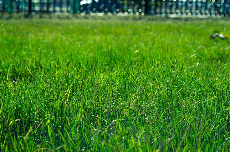 Looking for a highly resilient turf variety? Contact J & B Buffalo Turf Supplies! They are licenced suppliers that offer premium turf including Sir Walter and Platinum Zoysia. For quality turf supplies, visit http://www.buffaloturf.com.au  today.