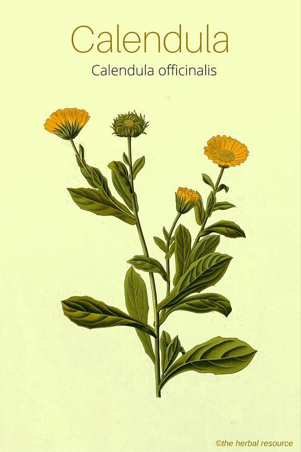The Herb Calendula (Calendula officinalis)