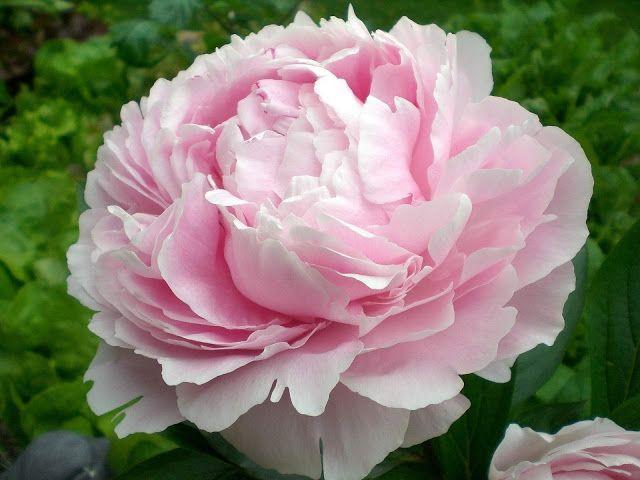 Rose Quartz & Serenity - My flower inspirations. Peony