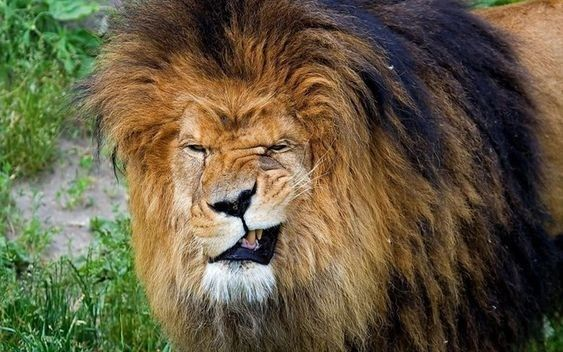 Majestic Lions That Also Happen To Be Giant Goofballs Of