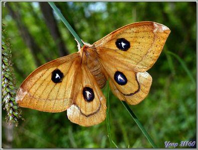 Les 278 meilleures images propos de pas de papillons sans chenilles sur pinterest paons - Invasion papillon de nuit ...