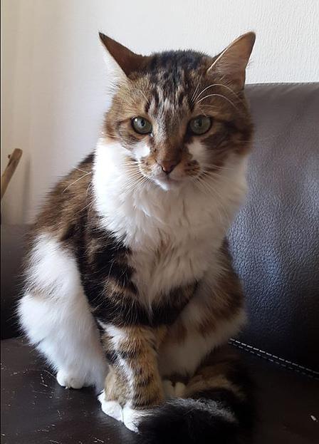 BISCOTTE, chat de 6 ans, à adopter dans le VAR (83)