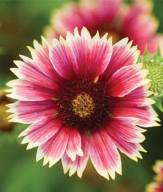 Gaillardia Punch Bowl Hybrid is a splashy annual that blooms from June through September.