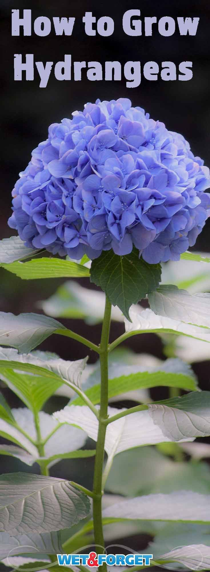 The vivid colors and velvety leaves make hydrangeas one of the most popular flowers. Learn how to grow hydrangeas and take care of them with our top tips and tricks!