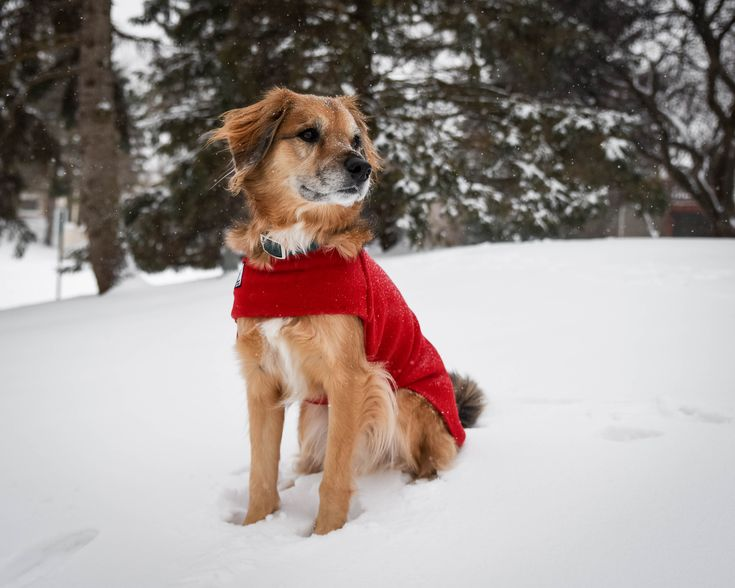 Orion playing in the snow in his Red Voyagers K9 Apparel Tummy Warmer. Voyagers K9 Apparel makes breed-specific, custom dog coats to keep dogs warm and dry during the cold months. Check us out at www.k9apparel.com