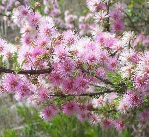 #Mimosa has a wonderful, sweet #floral scent with woody undertones.