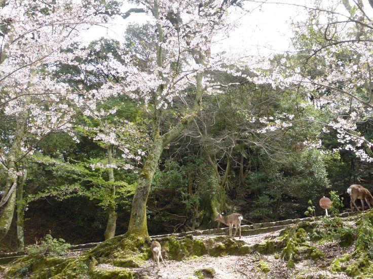 Miyajima, April 2015
