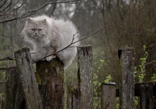gorgeous gray cat